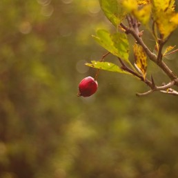 Red rose hip in autumn